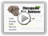 Raça tudo sobre ele - Chesapeake Bay Retriever