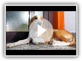 Istrian Shorthaired Hound - medium size dog breed