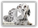The English setter - Hunting dogs.