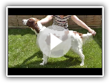 Dog Breed Video: Irish Red and White Setter