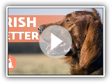 IRISH SETTER -€ Characteristics, Character and Health