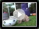 filhotes de sharpei jogando em 6.5 semanas