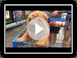 Melhor de filhotes de Shar Pei bonitos - Funny Puppy Videos 2018