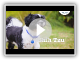 Shih Tzu Puppies & Dogs | Breed Facts & Information | Petplan