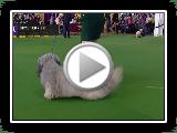 Skye Terrier | Breed zu urteilen 2019
