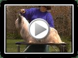 Skye Terrier - Série da raça do cão de AKC