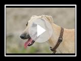 Galgo árabe (Sloughi) Raza de Perro