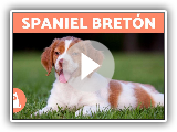 SPANIEL BRETÃ ?? N - Features and care