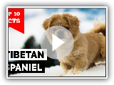 Tibetan Spaniel - Top 10 Facts