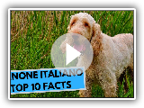Spinone Italiano - TOP 10 Interesting Facts