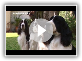 La Raza English Springer Spaniel
