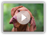 The Hungarian Pointer or Vizsla