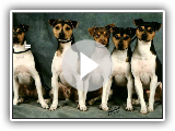Breeds of dogs - Terrier Brasileño