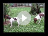 Fox Paulistinha - Terrier Brasileiro