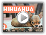 10 trivia about the chihuahua