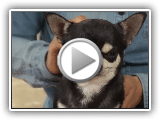 DOGS - The bathroom ± or and care of the Chihuahua