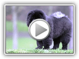 5 of Beautiful Chow Chow Colors