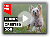 Chinese Crested Dog - Top 10 Facts