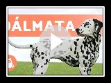 The dog DÁ ?? LMATA - Features and curiosities