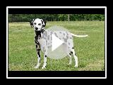 Dalmatian. Breed of dog