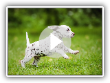 Dalmatian Dogs Compilation - Funny Dog Videos 2019