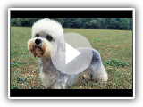 Dandie Dinmont Terrier / Breed of dog