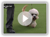 Dandie Dinmont Terriers | Breed Judging 2020