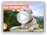 Argentine Dogo - Characteristics and training