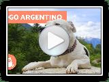Dogo argentino - Características y adiestramiento