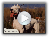 The Dogo Argentino dog