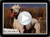 El perro Dogo Argentino