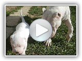Dogo Argentino playing