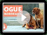 Dogue de Bordeaux - Caractéristiques et formation