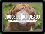 TOUT SUR LE DOGUE DE BORDEAUX: LE MAÎTRE FRANÇAIS