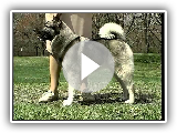 Norwegian Elkhound - AKC Hundezucht-Series