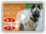 Hunde 101 - NORWEGISCHER ELKHOUND - Top Dog Fakten über den NORWEGIAN ELKHOUND