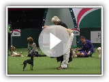 Crufts 2017 | Vencedor do Melhor da Raça Nick Gourley e English Toy Terrier Coco