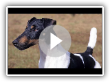 Fox Terrier de Pelo Liso (Fox Terrier Smooth) - Raza de Perro