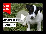 Glatter Foxterrier - oben 10 Fakten (Der Gentleman Terrier)