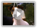 Fox Terrier lisse - AKC Dog Series Race