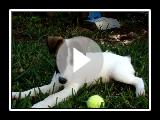 Fox Terrier suave, Jean cachorro brincando no quintal