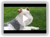 Fox Terrier of hair hard (Fox Terrier Wire) - Breed of dog