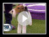'Vinny' der Wire Fox Terrier gewinnt den 2020 Westminster Dog Show Terrier Gruppe | FOX SPORT