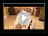 Wire Fox Terrier Roys Tricks