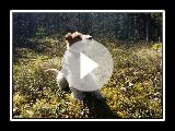 Wire Fox Terrier Owe spielen