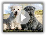 Terrier Glen the Imaal Irish - Breed of dog