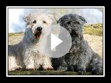 Terrier Glen l'Irlandais Imaal - Race de chien