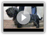 Hunderasse Video: Glen of Imaal Terrier