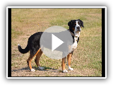 Great Swiss Mountain Dog (Swiss big boy) / Breed of dog