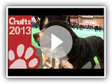 Varied Breed - Greater Swiss Mountain Dog - Crufts 2013